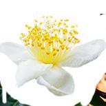 Камелия китайская