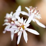 Coptis japonica