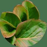 Листья бадана