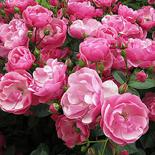 Róża piżmowa