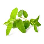 Olejek z eukaliptusa cytrynowego