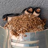 Výtažek z vlaštovčího hnízda