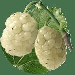 Шелковица белая