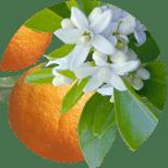 Pomeranč hořký