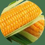 Blizna kukuřice seté