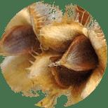 Semena buku lesního